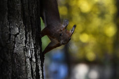 Red squirrel standing on a tree Royalty Free Stock Images