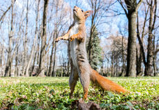Red squirrel standing upright on grass against blurred park back Royalty Free Stock Photography