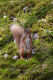 Red Squirrel standing. And watching Royalty Free Stock Photos