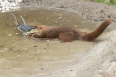 Red squirrel standing  in water holding a shark Royalty Free Stock Photos