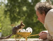 Red squirrel is standing on wheelbarrow with an ball Royalty Free Stock Photography