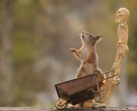 Squirrel standing on wheelbarrow with a skeleton Stock Image