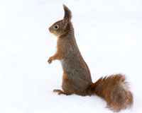 Red squirrel standing on white snow Royalty Free Stock Image