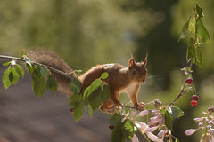 Squirrel stands on branch with cherries. Red squirrel stands on a branch with cherries Royalty Free Stock Images