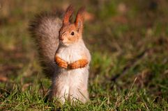 The red Squirrel stands on the grass and looks at the camera stock images
