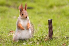 The red Squirrel stands on the grass and looks at the camera royalty free stock photo