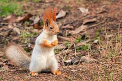 The red Squirrel stands on the ground and looks at the camera royalty free stock photography