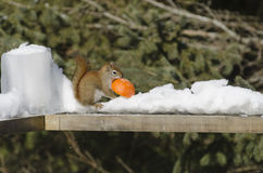 Red Squirrel Stealing an Orange Royalty Free Stock Photography