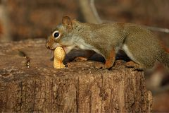 Red Squirrel On Stump. In Morning Sun Feeding On Peanut Stock Photo