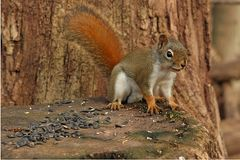 Red Squirrel On Stump. In Morning Sun On Alert Royalty Free Stock Photos