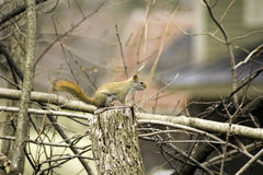 Red Squirrel On A Stump. A pretty red squirrel sitting on a stump Royalty Free Stock Photography