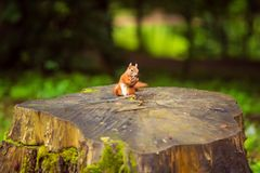 Red squirrel on the stumps trees in the forest eating nut royalty free stock photo