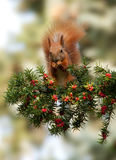 Red squirrel in the summer of yew. Red squirrel sitting on a branch of a yew tree fruit and gnawing royalty free stock photography