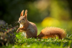 Red squirrel in the sun Royalty Free Stock Photography