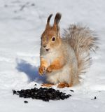 Red squirrel eating seeds in the snow Stock Image