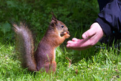 Red squirrel takes a nut with male hand. Squirrel sitting on his hind legs and eating a nut royalty free stock photography