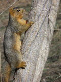 Red squirrel - Tamiasciurus hudsonicus. Red squirrel perched on a tree trunk during the fall in Colorado Stock Photography