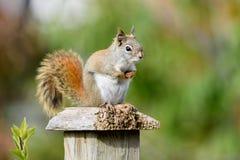 Red Squirrel (Tamiasciurus hudsonicus) Stock Images