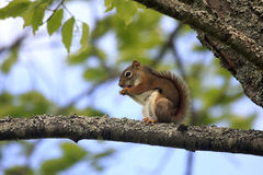 Red Squirrel branch Royalty Free Stock Photography