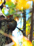 Red Squirrel Tamiasciurus hudsonicus in a Tree Stock Image