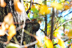Red Squirrel Tamiasciurus hudsonicus in a Tree Royalty Free Stock Photography