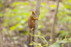 Red squirrel on thin tree in forest Stock Photography