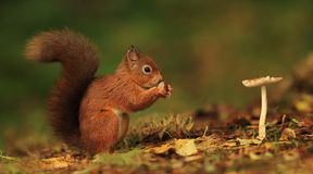 Red Squirrel and Toadstool. A Scottish Red Squirrel eating a nut beside a toadstool on a carpet of autumn leaves royalty free stock photography