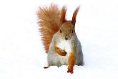 Red Squirrel On The Tree Stock Image