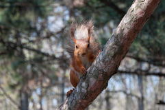 Red squirrel on tree 2 Stock Photo