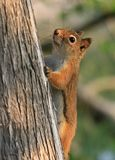 Red Squirrel on Tree Royalty Free Stock Photography