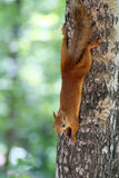 Red squirrel on tree Royalty Free Stock Image