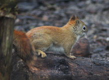 Red squirrel on tree Stock Photos