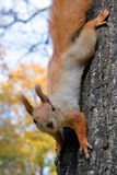 Red squirrel on tree in Royalty Free Stock Image
