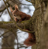 Red squirrel in a tree. Red squirrel in the branches of a tree looking downwards Stock Photography