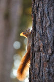 Red squirrel on tree Royalty Free Stock Photos