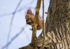 Red squirrel. On a tree eating a nut royalty free stock photography