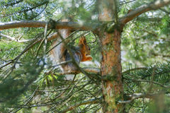 Red squirrel in a tree eating a nut Stock Images