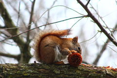 Red Squirrel. In a tree eating a pine cone Stock Photography