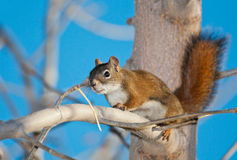 Red Squirrel in Tree Stock Image