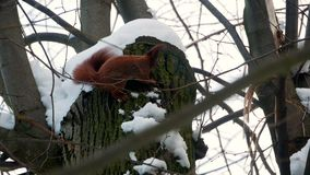 Red squirrel on tree forest 4k. Video stock video