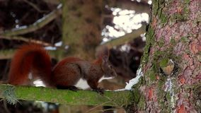 Red squirrel on tree forest 4k. Video stock video footage