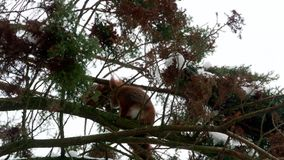 Red squirrel on tree forest 4k. Video stock footage