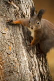Red squirrel on a tree Royalty Free Stock Photo