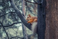 Red squirrel on a tree holding a nut. Red squirrel on a grey background is eating a walnut stock images