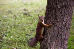 Red squirrel in a tree looking at the camera. A squirrel climbed up a tree Royalty Free Stock Images
