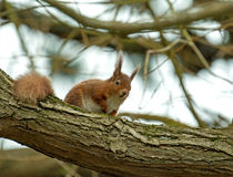 Red Squirrel in Tree Stock Photos
