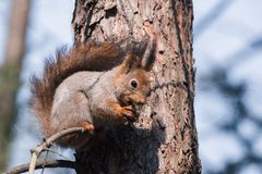 Red squirrel on a tree Stock Photography
