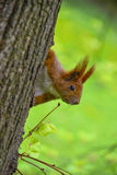 Red squirrel on the tree. Red squirrel sitting on the tree looking Stock Image