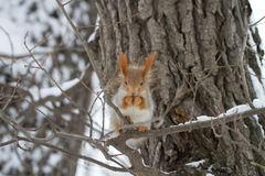 Red Squirrel in Tree and Snow Stock Image