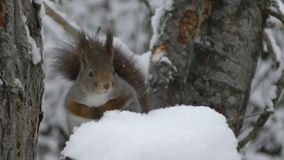 Red squirrel in tree while  snowing stock video